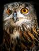 Eurasian Eagle-Ow...