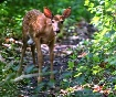 Late Fawn