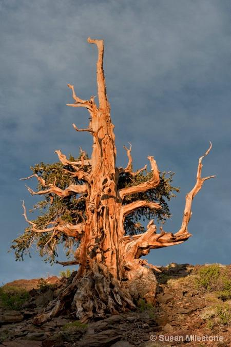 Ancient Bristlecone Pine 2832 - ID: 13216629 © Susan Milestone