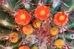 Echinocereus trig...