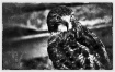 Red-Tail in B&W