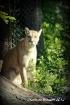 Cougar...