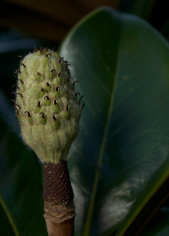 Magnolia Bud at Night