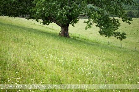 The Ol' Oak Tree
