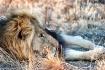 Lazy lion #2