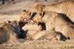 Lions clean up af...