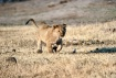 Lion cub at play