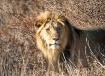 Male lion looks o...