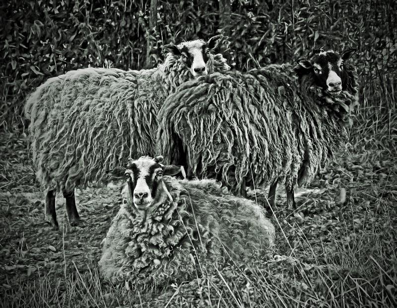 Royal Sheep