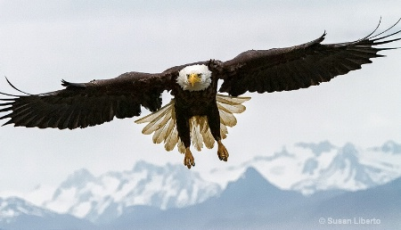 Bald Eagle in Homer, AK