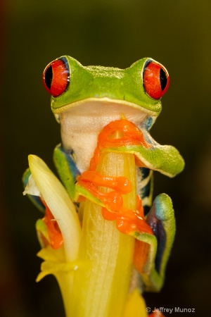 Red-eyed Tree-frog 3