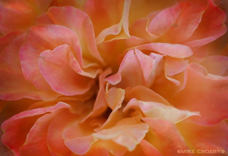 ~ Rose ~