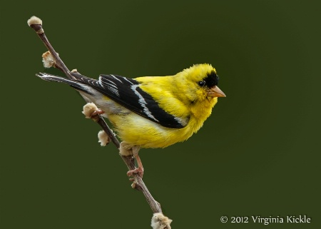 Goldfinch on Willow