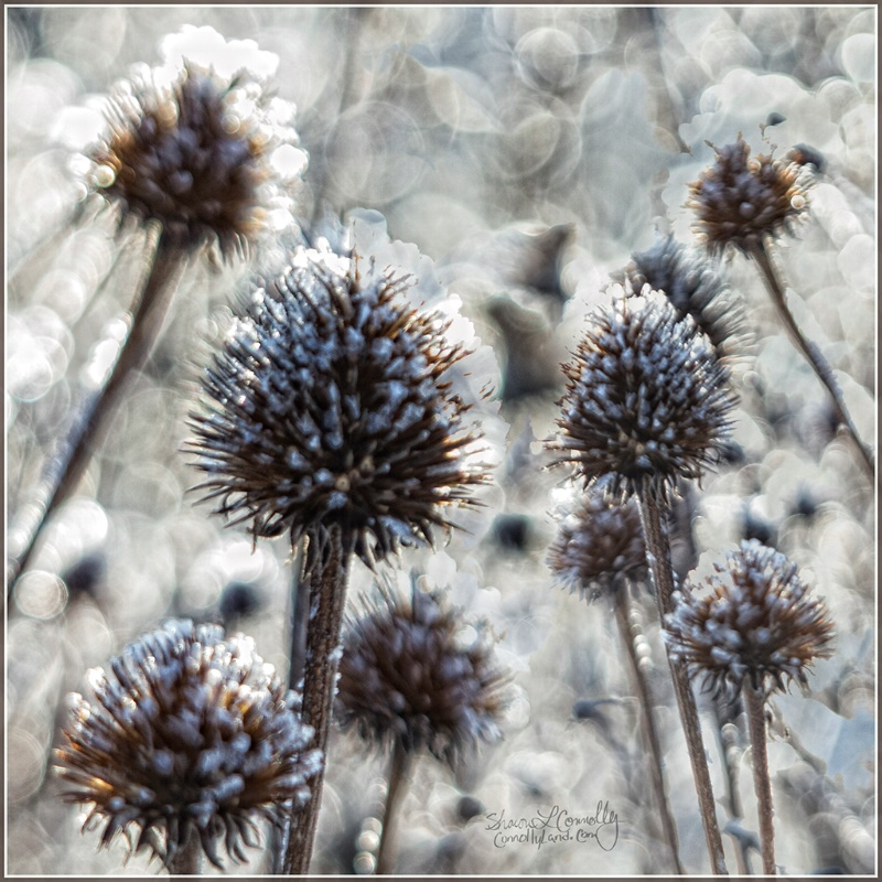 Cone Flower Frost