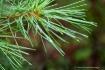 pine bough...