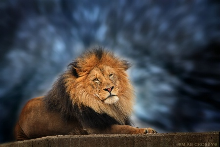 South African Lion