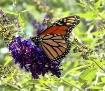 ~ Monarch ~