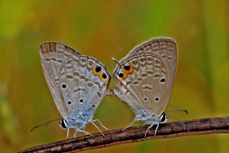 Butterfly - ID: 13269637 © VISHVAJIT JUIKAR