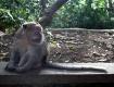 Long-Tailed Macaq...