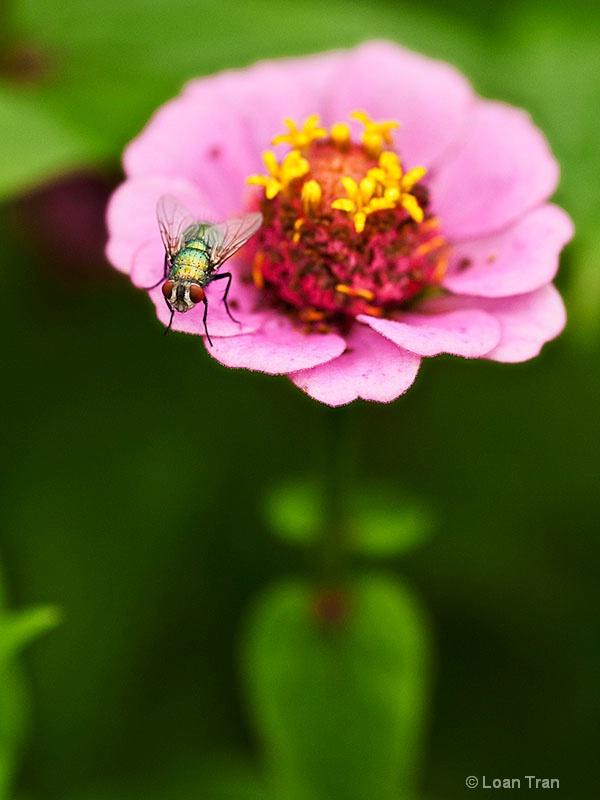Fly on a pink flower - ID: 13273718 © Loan Tran