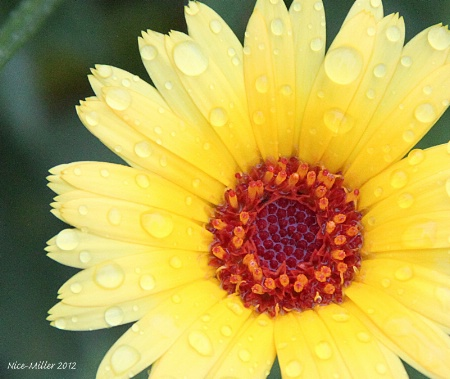 Yellow flower with raindrops1
