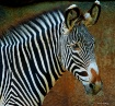 Yipes! Stripes!