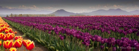 Sea of Tulips and the Cascades