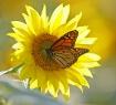 Monarch on Sunflo...