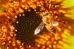 Honeybee on a Sun...