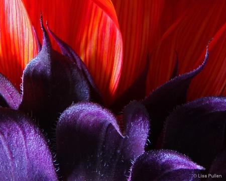 ~red sunflower, red sunflower~