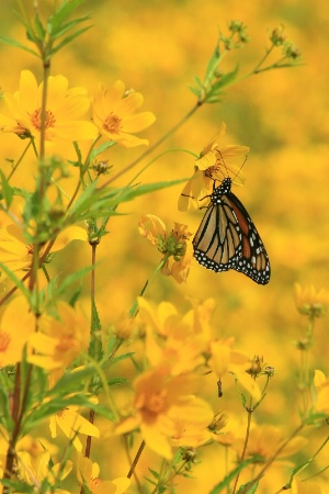 butterfly in yellow 2012