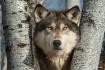 Wolf 1203