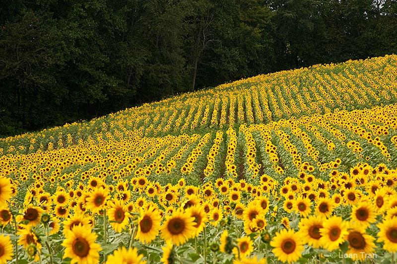 Sunflower Field 1 - ID: 13302959 © Loan Tran