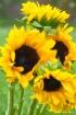 Painted Sunflower...