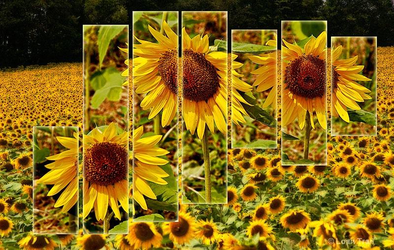 Sunflower Field 2 - ID: 13312677 © Loan Tran