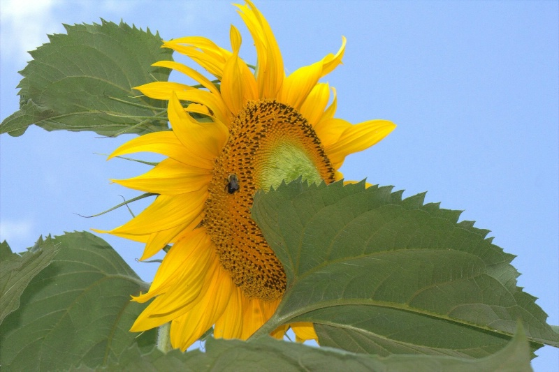 Selfish Sunflower