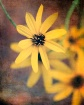 rustic coreopsis