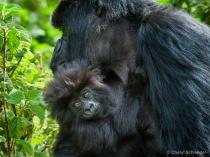 Infant Mountain Gorilla 1109