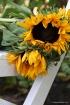 Sunflower - Sligh...