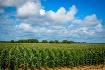 Corn field and bl...