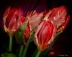 Noble tulips