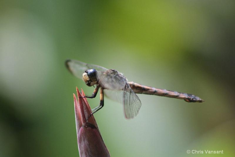 20120715 2801 clubtail dragonfly - ID: 13352362 © Chris Vansant