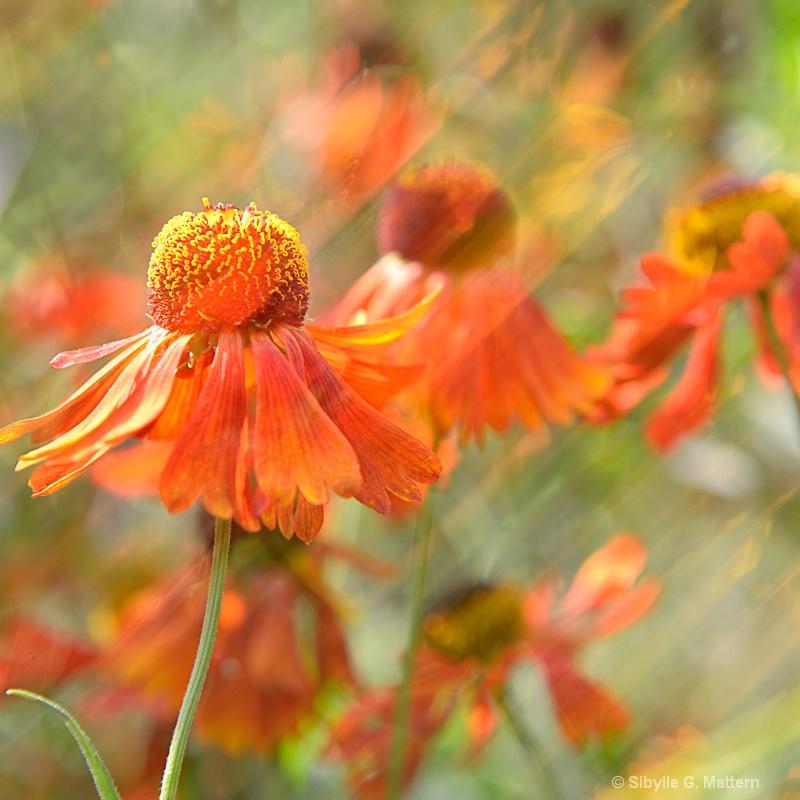 Helenium autumnale  - ID: 13357963 © Sibylle G. Mattern