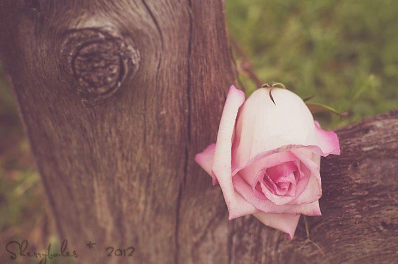 Granny's rose