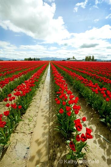 Skagit Valley Tulip Farm 4 - ID: 13364367 © Kathy K. Whitfield
