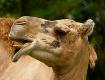 Camel Profile