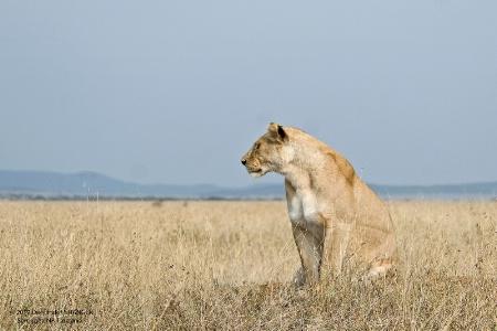 Lioness-Serengeti 1