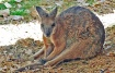 Sitting  Wallaby
