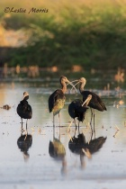 White-faced Ibis Flock in Flooded Rice Field