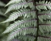 Frosted Fern